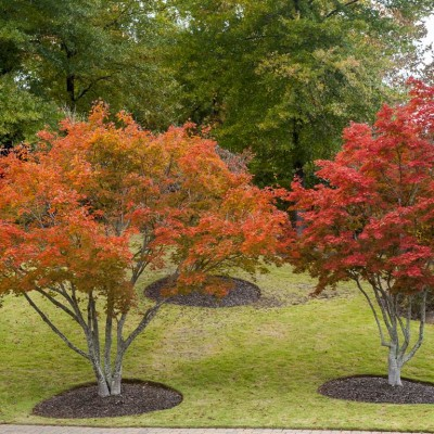 Japanese Maples (4)